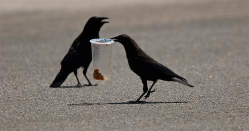 Crows work with a plastic container in the street outside the garden.  Photo by Anders Tomlinson.