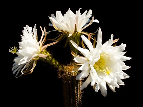 Three blooms at the same time off the same stalk.  Photo by Anders Tomlinson.