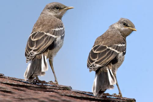 Mockingbirds spend spring, summer and fall in the garden.  Photo by Anders Tomlinson.