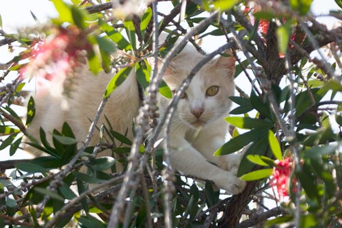 Snoopy the Cat climbs in the bottle bush tangled, enticed by bird calls.  Photo by Anders Tomlinson.