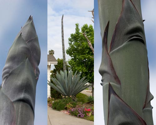 Agave Century Plant in blooming process, San Diego, CA.  Photos by Anders Tomlinson