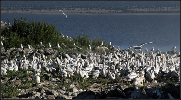 pelicans at pelican rookery on island in clear lake national wildlife refuge.  modoc county, california.  tule lake california.  photo by anders tomlinson