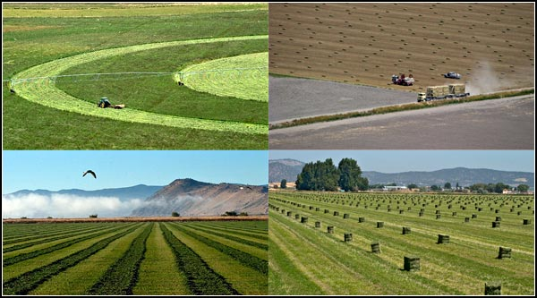 alfalfa fields in the tule lake basin.  photos by anders tomlinson