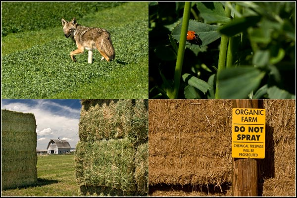 alfalfa scenes in tule lake basin:  coyote, lady bug, organic alfalfa, barn. tulelake california.  photos by anders tomlinson.