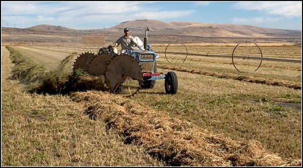 A three wheel turning rake inverts the windrow.  The highest  quality hay, rich in total digestible nutrients, is sold to dairies.   Other markets include export and retail for horses.   Alfalfa has roots that are 6 to 8 feet deep.   A stand can be productive for 7 to 9 years.  tule lake basin.  tulelake, ca.  photo by anders tomlinson.
