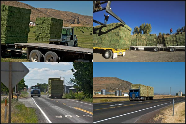 Alfalfa on trucks and moving down highways to market.  tule lake basin alfalfa.  tulelake california.  photos by anders tomlinson.