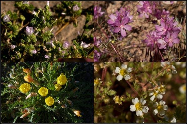 wild flowers at clear lake national wildlife refuge, modoc county california, tulelake california.  photos anders tomlinson