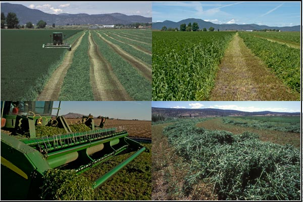 second cutting of alfalfa in a tule lake basin alfalfa field.  tulelake ca,  photos by anders tomlinson