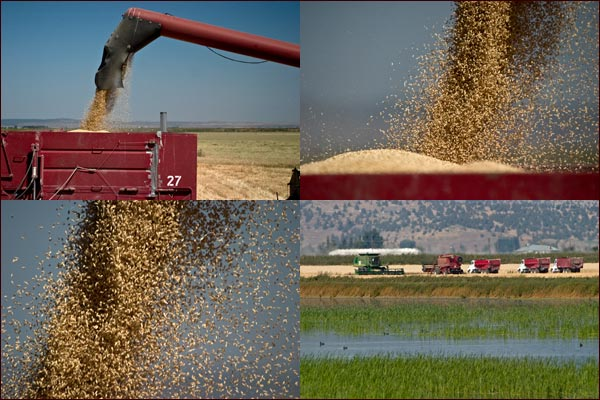 Grain frops into trucks beds, tule lake basin, tulelake, ca.  photos by anders tomlinson