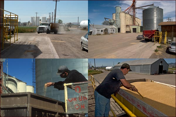 Grain arrives at the grain elevators' office where it be analyzed and valued, tule lake basin, tulelake ca. photos by anders tomlinson.
