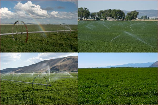 mint fields being watered, tulelake. ca,  photos by anders tomlinson