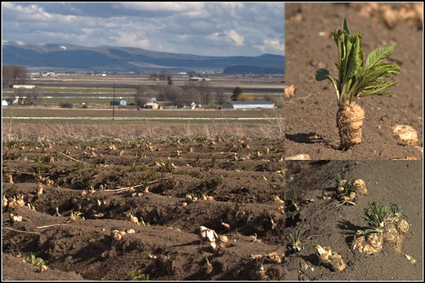 Soon the Horseradish Root will See the Light of Day, tule lake basin horseradish, tulelake, california.  photos by anders tomlinson.