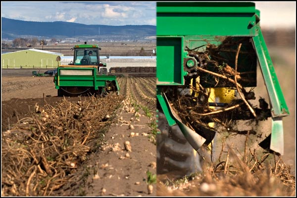Horseradish roots being turned over .  tule lake basin horse radish, tulelake california.  photos by anders tomlinson