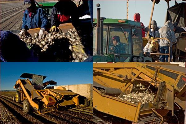 Harvesting Onions fields , tule lake basin, tulelake ca. photos by anders tomlinson.