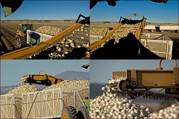 Harvesting Onions fields , tule lake basin, tulelake ca. photos by anders tomlinson.