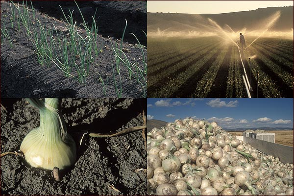 slide photos of tule lake basin onion moments.  tulelake, ca.  photos by anders tomlinson.