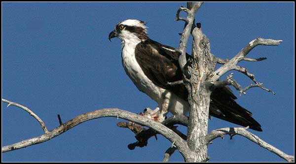 osprey at medicine lake highlands, modoc national foredt, medicine lake.  photo by anders tomlinson
