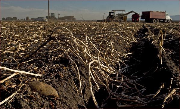 potato on ground awaits harvest in tulelake, CA.  photo by anders tomlinson.