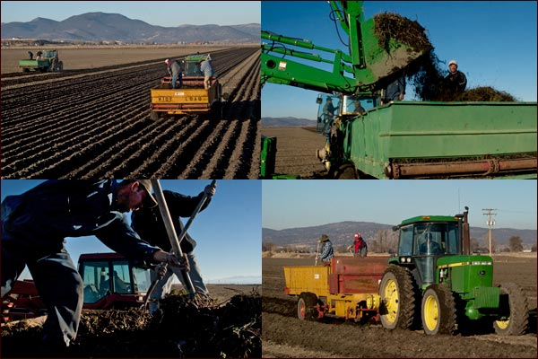 Spreading Mint root stalk to start a mint crop.  tulelake ca.  photos by anders tomlinson.