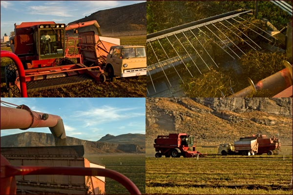 mint tea leaves being harvested in tulelake ca.  photos by anders tomlinson