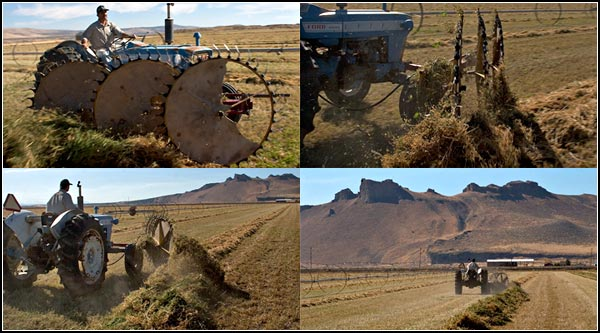 turning alfalfa with a three wheel turning rake.  tule lake basin alfalfa.  tulelake ca.  photos by anders tomlinson.