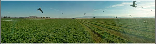 alfalfa field in tule lake basin being cut. tulelake, ca.  photo by anders tomlinson