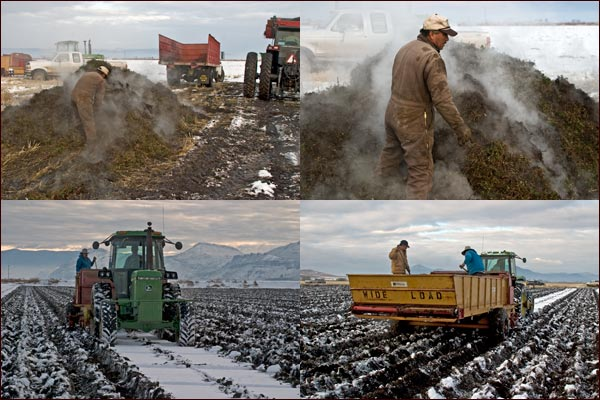 mint root stalk being planted under snowy conditions, tulelake, ca.  photos by anders tomlinson.