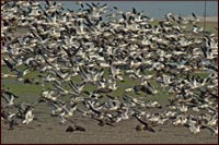 geese landing in a converted walking wetlands to farm field. tulelake, ca. photo by anders tomlinson
