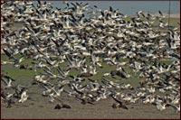 geese landing in a converted walking wetlands to farm field. tulelake, ca. photo by anders tomlinson