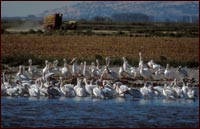 pelicans in tule lake national wildlife refuge walking wetlands, an alfalfa squeeze is seen in the background. photo by anders tomlinson.
