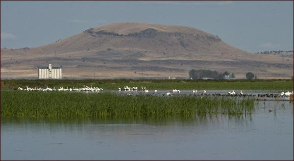 pelicans eating and resting in walking wetlands.  tule lake national wildlife refuge.  tulelake, ca.  photo by anders tomlinson