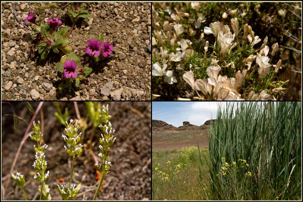 spring wild flowers, petroglyph Point, lava Bed Ntional Monument, Tulelake, CA. view fro the top of Petroglyph point. photo by anders tomlinson.