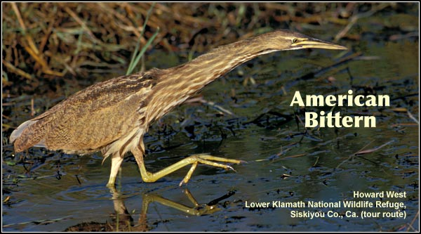 American bitterns are an uncommon deep water marsh species more often seen than heard because of their reclusive nature and cryptic coloration. Most leave the Upper Klamath Basin watershed during the winter. photo by howard west