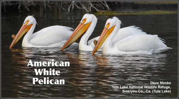 During the spring, summer and fall, white pelicans are seen feeding in both deep and shallow wetlands as well as irrigation canals throughout the Upper Klamath and Tule Lake Basins. phot by dave menke