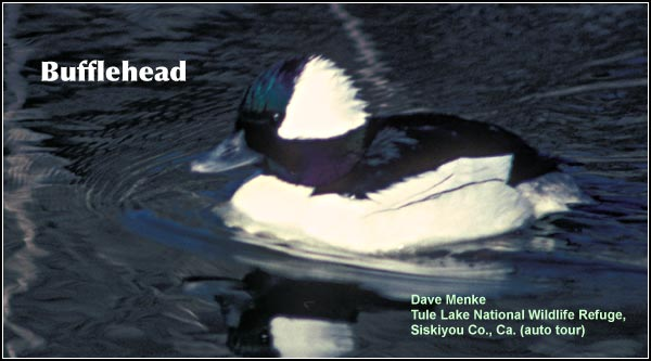 Bufflehead are very common in many Upper Klamath Basin wetlands during the late fall,winter and spring.  They are much less common during the breeding season, nesting in tree cavities near deep water wetland.  photo dave menke