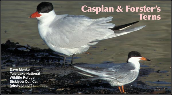 These are the two most common terns found in the Upper Klamath Basin watershed.  During the spring and summer months both Caspian and Forster's  terns may be observed flying over wetlands photo dave menke