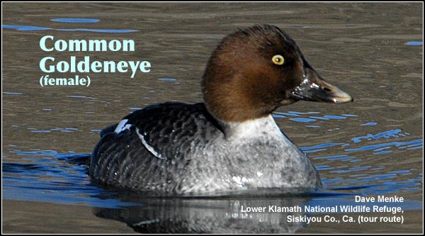 Common goldeneye ducks are most commonly seen in the lake fall and winter in  deep water marshes and wetlands.  In the Upper Klamath Basin they are easily observed along the Link River and refuge wetlands.  photo dave menke