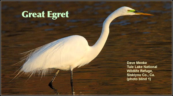 Great egrets are commonly observed in a variety of wetland habitats.  Seen year-round, they are common most of the year with numbers decreasing sharply during the winter.  photo Dave Menke