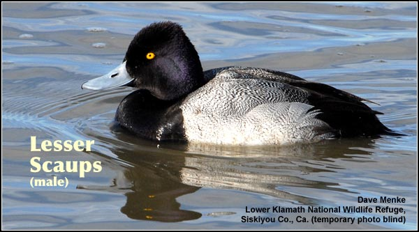 Male lesser scaups are a common medium-sized black and white diving duck observed primarily in deep water wetlands of the Upper Klamath Basin watershed. They may be seen any month of the year. photo Dave Menke