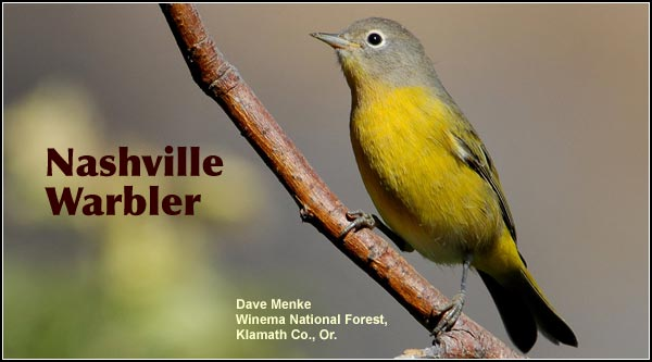 Nashville warblers are observed in spring and summer in wooded habitats in the Upper Klamath and Tule Lake Basins. photo by dave menke