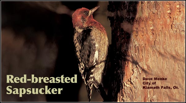 Red-breasted Sapsuckers are seen primarily in the northern portion of the Upper Klamath Basin. They are often observed in riparian areas particularly where a mixed stand of pine and deciduous trees including aspen, cottonwood and willow are found. They are also found in seasonal and shallow marshes. photo by dave menke