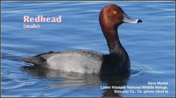 Redheads are a common duck that is found year-round in deep water and permanent marshes.  Their numbers decrease somewhat in the winter months.   photo by dave menke