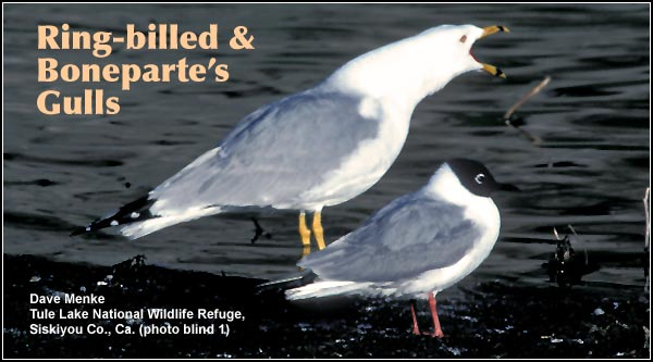 Ring-billed & Boneparte's Gulls are two gull species seen near large  expanses of open water in the Upper Klamath and Tule Lake Basins.  While ring-billed gulls are seen year-round, Boneparte's gulls are present during the spring and summer.  photo by dave menke
