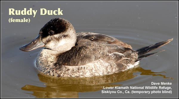 Ruddy ducks. female photo by dave menke