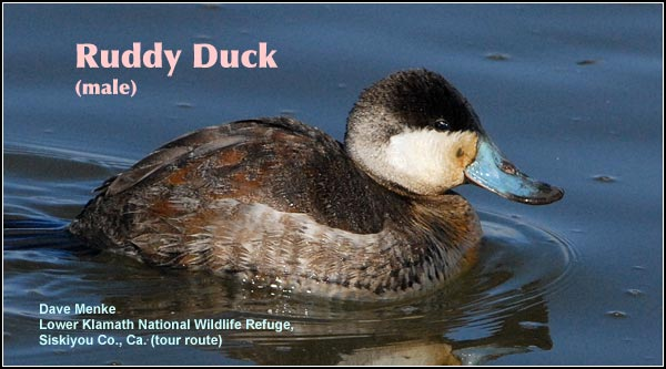 Ruddy ducks are most common during the fall, winter and spring in deep water marshes and wetlands.  They nest in relatively small numbers and broods of young may be observed during spring and summer.   photo dave menke
