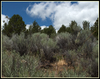 juniper - sagebrush icon small.  photo by anders tomlinson