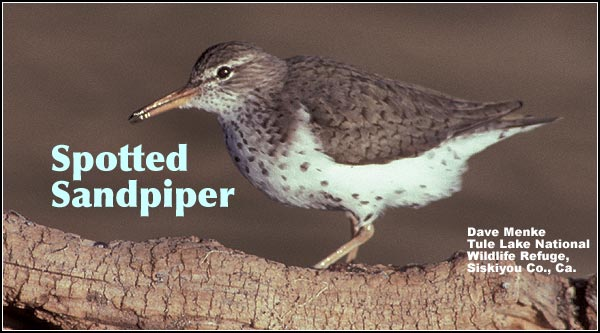 Spotted sandpipers breed during the summer in the Upper Klamath Basin watershed. They are most commonly observed along rocky shorelines of lakes and other wetlands during spring and summer. photo by dave menke