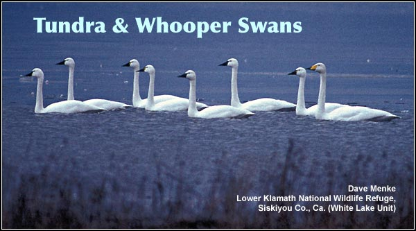 Tundra swans (seen in this photo with a single rare Eurasian Whooper swan) are often seen during the winter months in the tens of thousands in the flooded farm fields and open wetlands on Lower Klamath Refuge. photo by Dave Menke