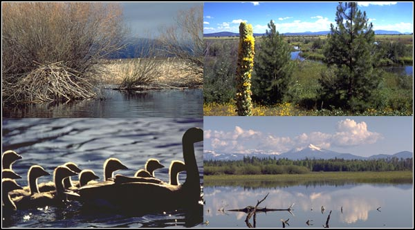 upper klamath national wildlife refuge, rocky point, oregon.  four wildlife scenes.  photos by anders tomlinson