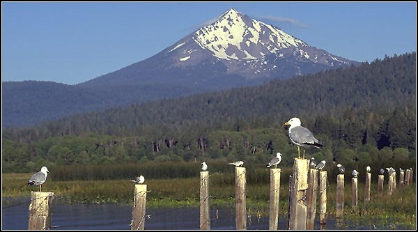 Mt. McLoughlin, seagulls in pelican bay, upper klamath national wildlife refuge, rocky point, oregon.  photo by anders tomlinson.